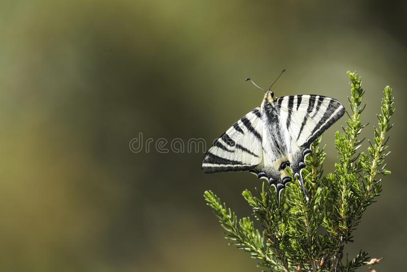 Schaarse Swallowtail, podalirius Iphiclides royalty-vrije stock afbeelding