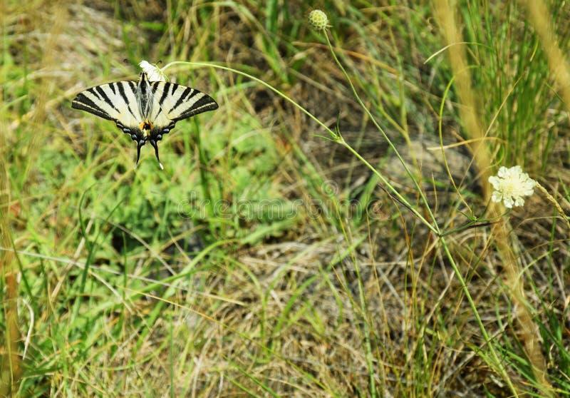 Schaarse Swallowtail - Vlinder stock foto