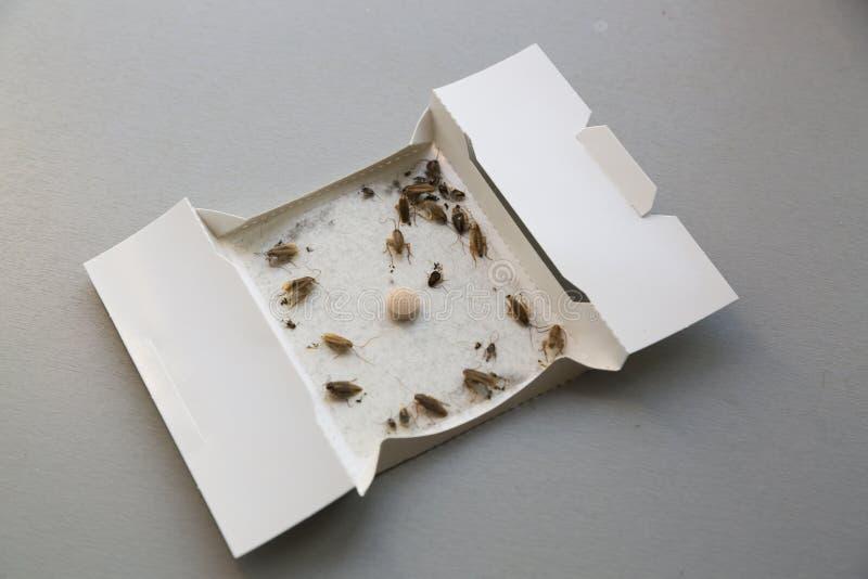Schaben zu Hause in einer klebrigen Falle des Insekts lizenzfreie stockbilder