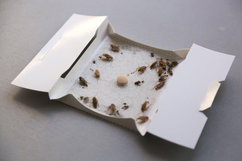 Schaben zu Hause in einer klebrigen Falle des Insekts lizenzfreie stockfotografie
