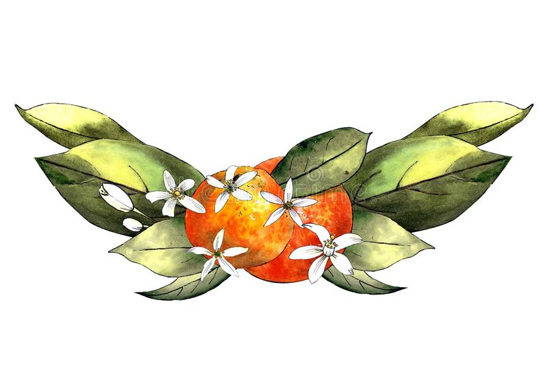 Schablone des Handabgehobenen betrages der Mandarine, der Blätter und der Blumen Zeichnungsmarkierungen lizenzfreies stockfoto
