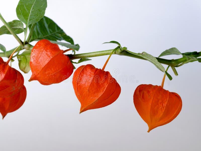 Schablone mit reifen roten Physalisblumen lizenzfreies stockbild