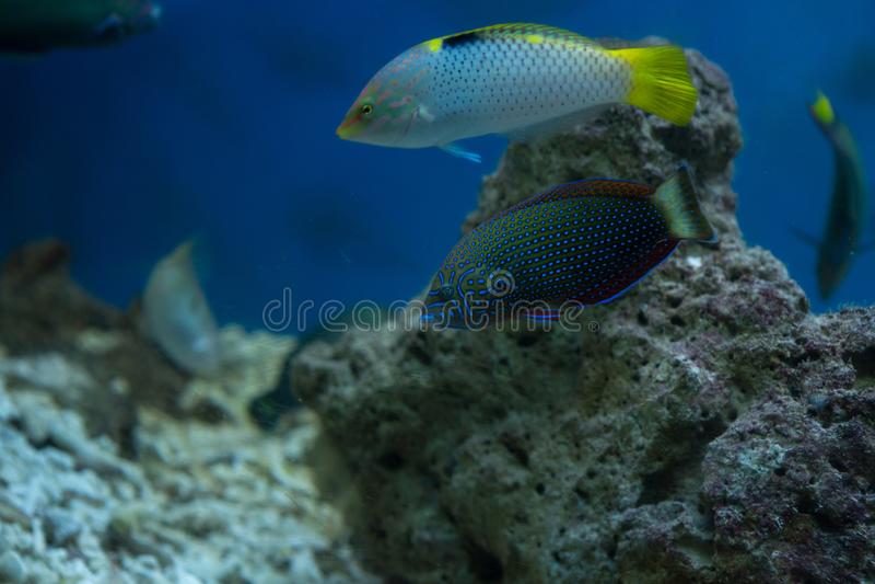 Schachbrett Wrasse Halichoeres-hortulanus im Aquarium stockfotografie