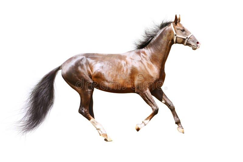 Download Schacht Stallion Getrennt Stockbilder - Bild: 11148624