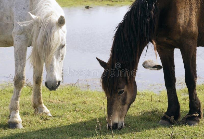 Schacht und weißes Pferd lassen auf einem grünen Rasen weiden   stockfotografie