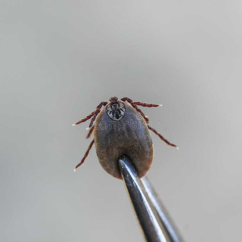 Schadelijke besmettelijke die insectmijt uit dierlijk medisch m wordt verwijderd royalty-vrije stock foto's