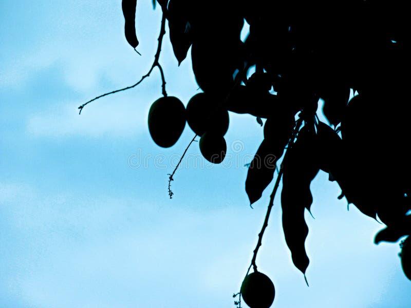 Schaduw van de mangoboom royalty-vrije stock foto