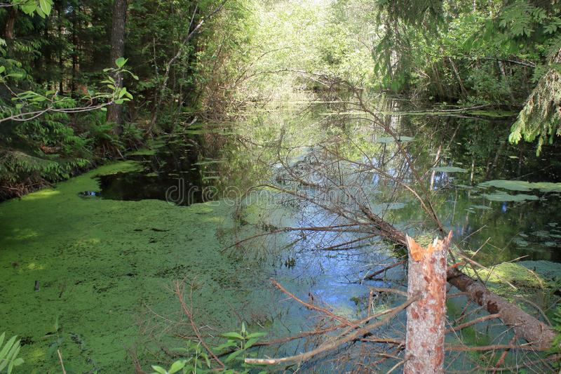 Schaduw van moeras de oude bosbomen stock afbeeldingen