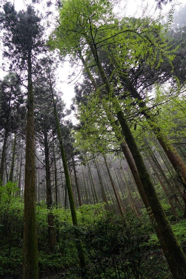 Schaduwen van groene bladeren op rechte boomboomstammen en installatie in vochtig geestelijk bos op regenachtige dag met regendru stock foto