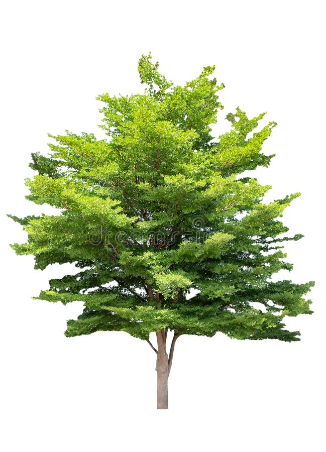 Schaduwrijke boom groene die bladeren op achtergrond worden geïsoleerd stock fotografie