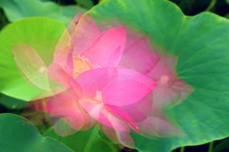 Schaduwrijke lotusbloem stock foto