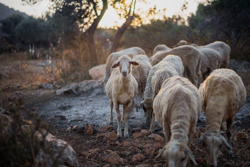 Schaf-Menge in Olive Grove lizenzfreie stockfotografie