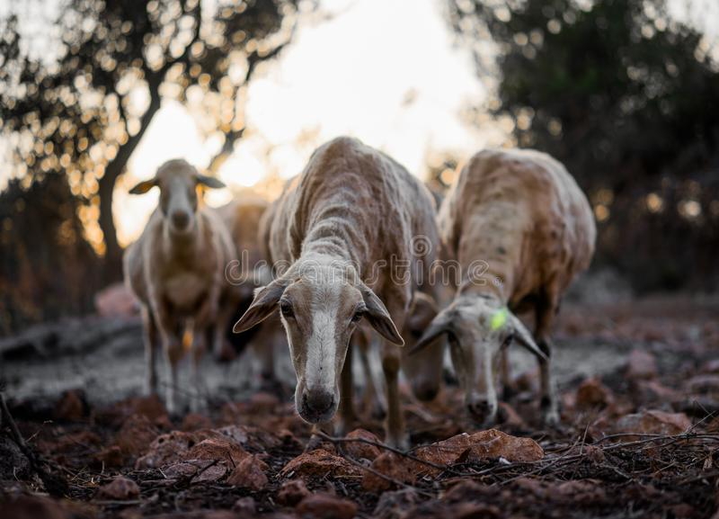 Schaf-Menge in Olive Grove lizenzfreie stockfotos