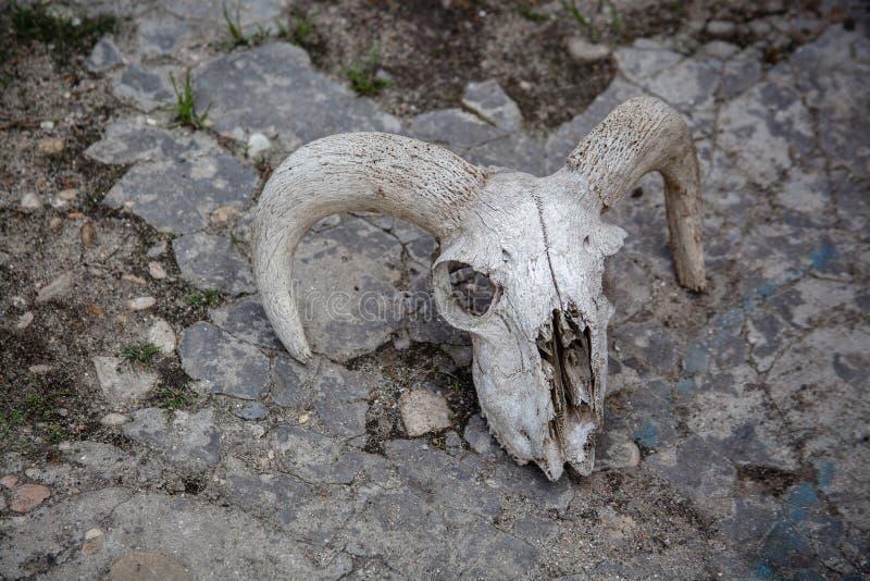 Schaf-Sch?del auf einem gebrochenen Steinhintergrund stockfoto