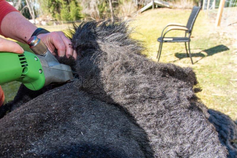 Schaf schier schwer arbeiten auf einem Schafvlies lizenzfreies stockbild