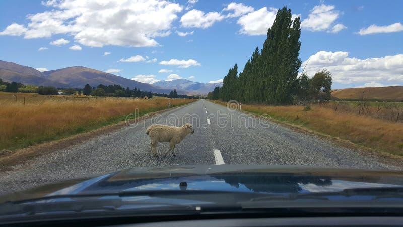 Schaf schläft Recht auf der Mitte von Neuseeland-Landstraße stockbilder