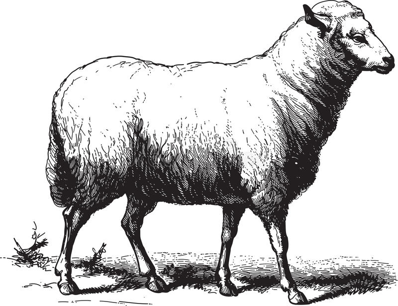 Schafe vektor abbildung