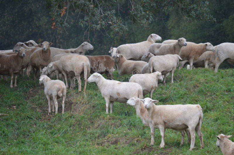 Schafe stockbilder