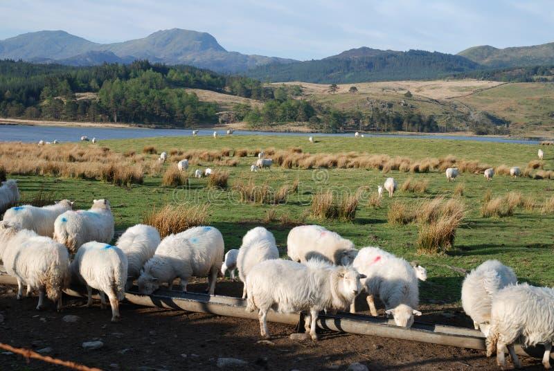 Download Schafe. stockbild. Bild von landwirtschaft, landschaft - 9091671