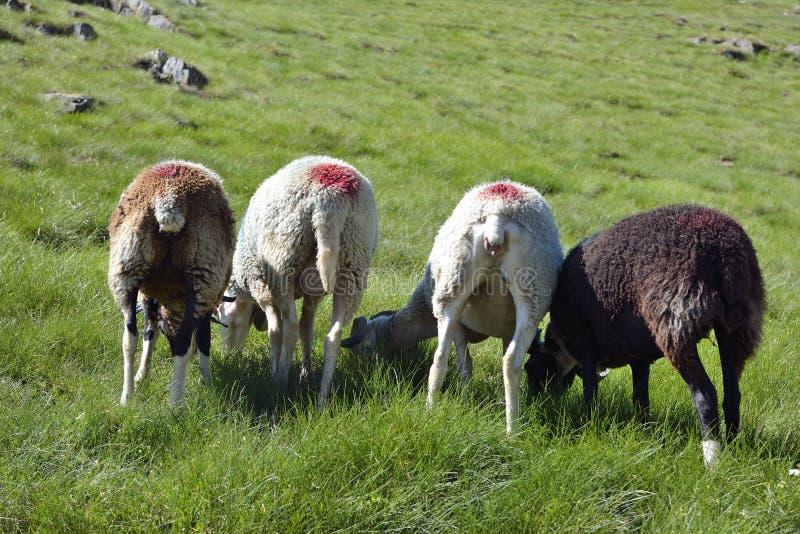 Download Schafe stockfoto. Bild von nett, grün, säugetier, lamm - 96929360