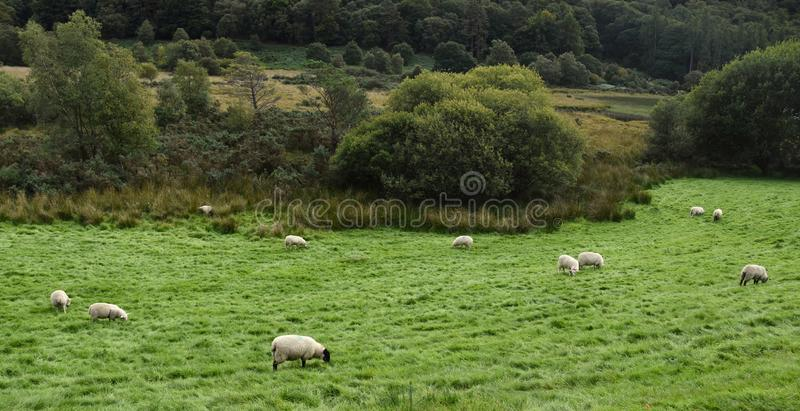 Schafe auf Archivbildern einer Wiese lizenzfreie stockfotos