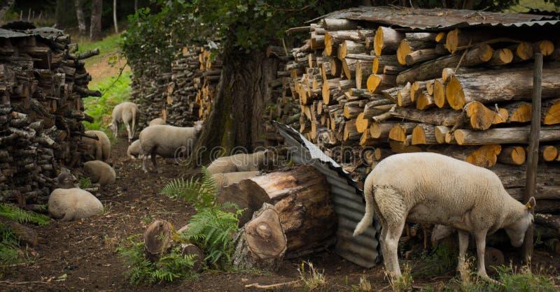 Schafe auf dem Bauernhof lizenzfreie stockfotografie