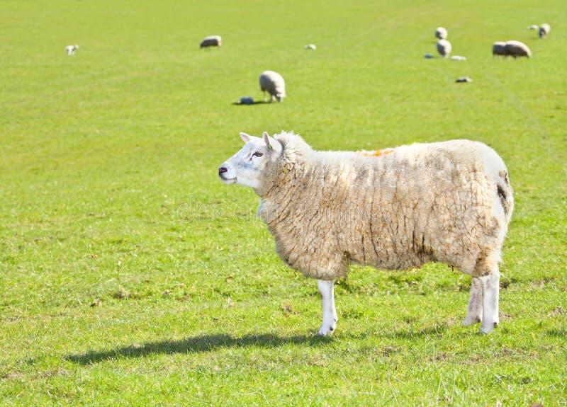 Schafe auf dem Gebiet stockfotografie