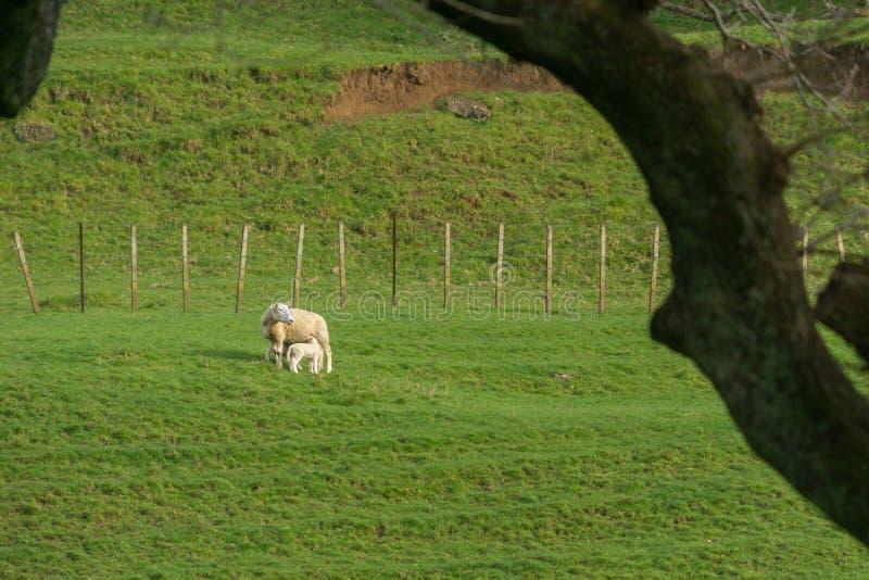 Schafe auf dem Gebiet gestaltet durch Schattenbildbaumast lizenzfreies stockbild