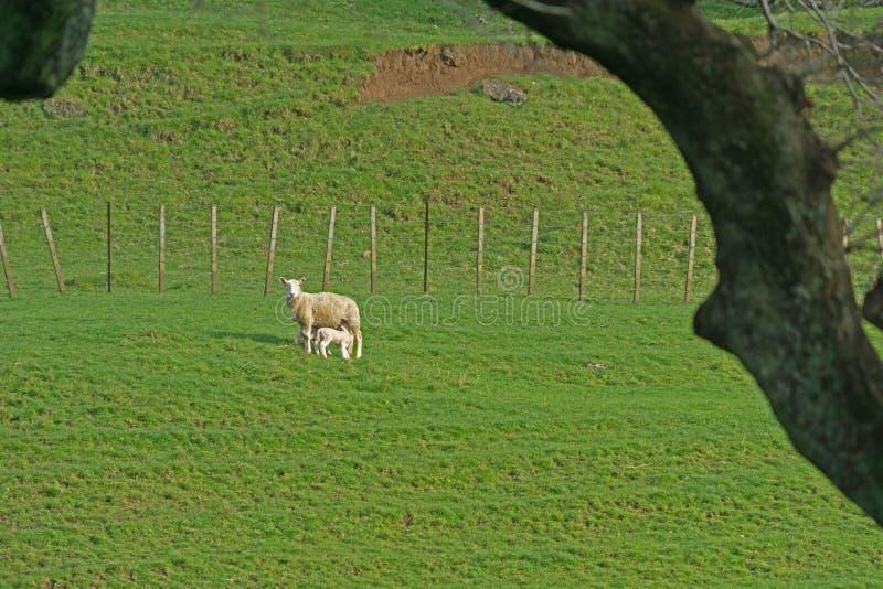 Schafe auf dem Gebiet gestaltet durch Schattenbildbaumast stockbild