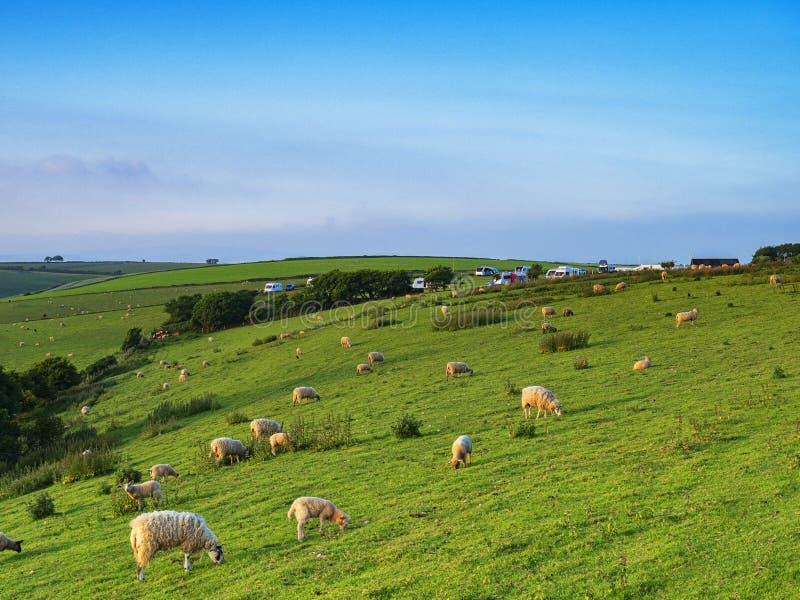 Schafe auf einem Abhang Devon Großbritannien stockfotos