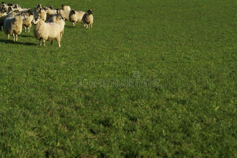 Schafe auf einem Gebiet lizenzfreie stockbilder
