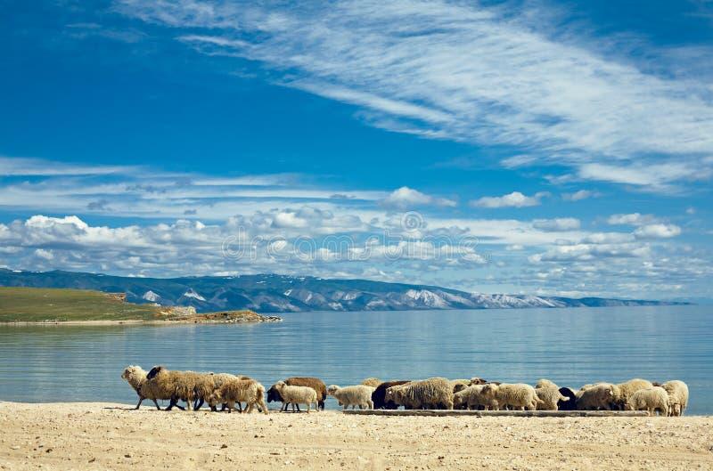 Schafe auf grünem Feld stockbilder