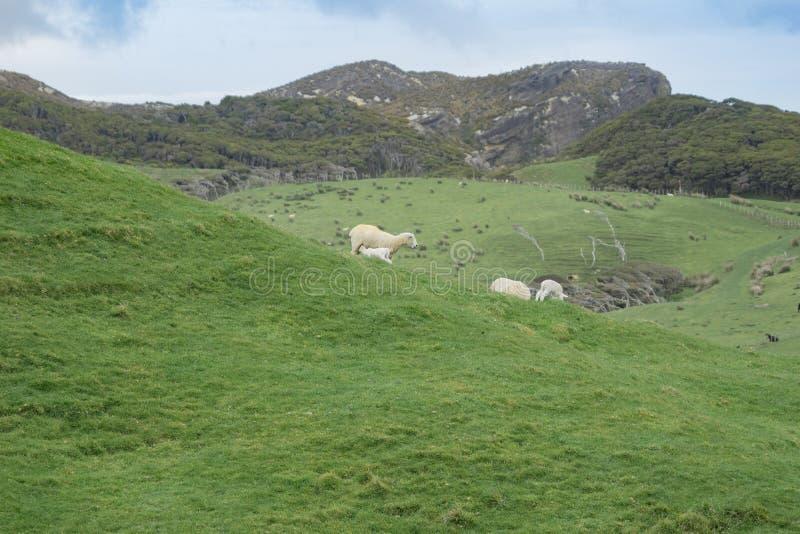 Schafe auf Neuseeland-Bauernhof lizenzfreies stockfoto