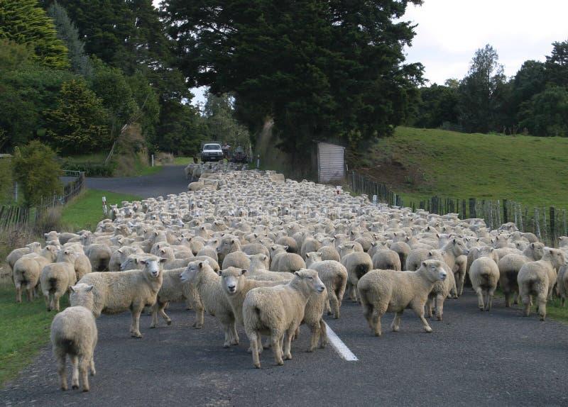 Schafe auf Straße stockbilder