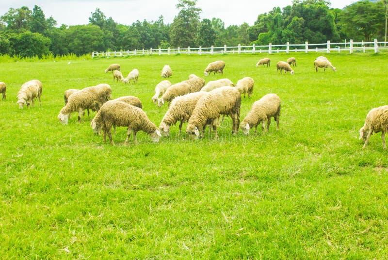 Schafe auf Wiesen stockfoto