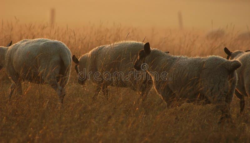 Schafe in Bewegung lizenzfreies stockbild