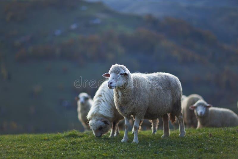 Schafe in den Bergen im Herbst stockbild