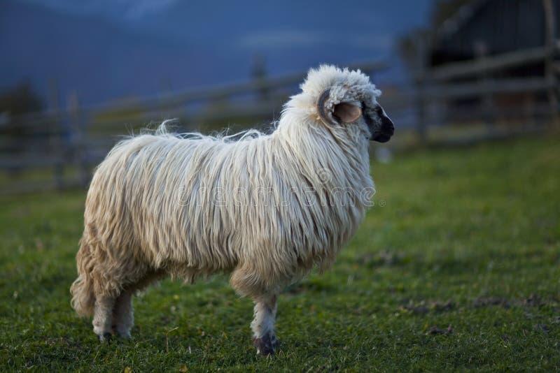 Schafe in den Bergen im Herbst stockbilder