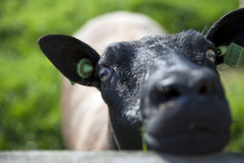 Schafe in den greenlands Schalkwijk stockfotos