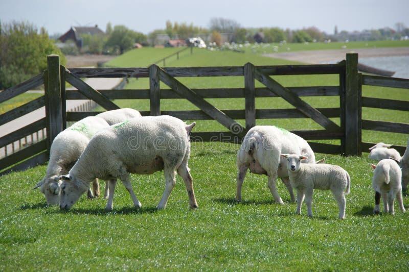 Schafe in den Niederlanden stockfoto