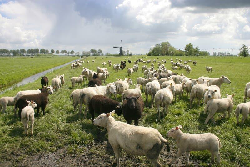 Schafe in der holländischen Landschaft stockbild