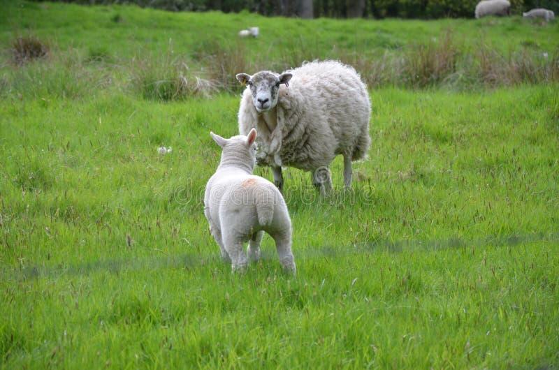 Schafe in der Landschaft lizenzfreie stockbilder
