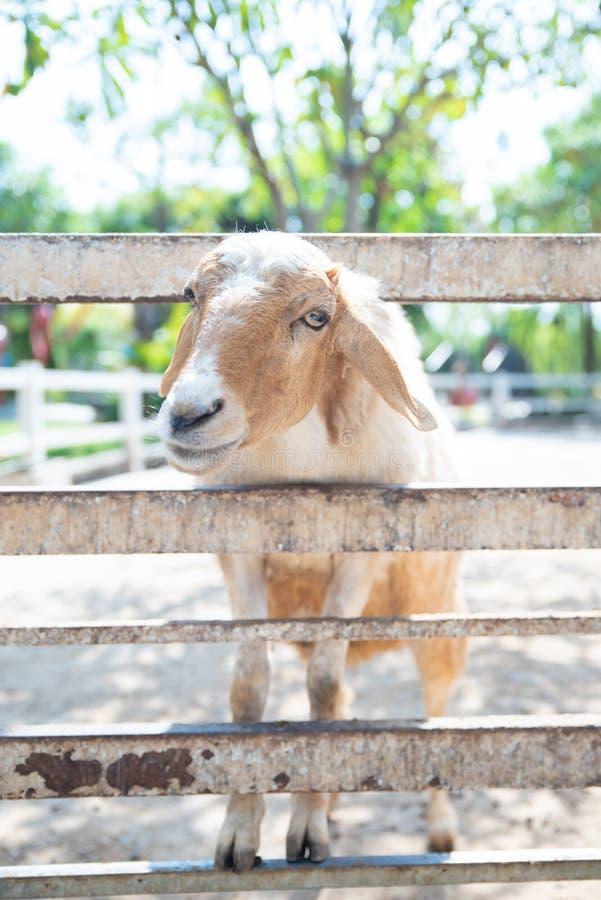 Schafe in der Natur auf Wiese stockfotos
