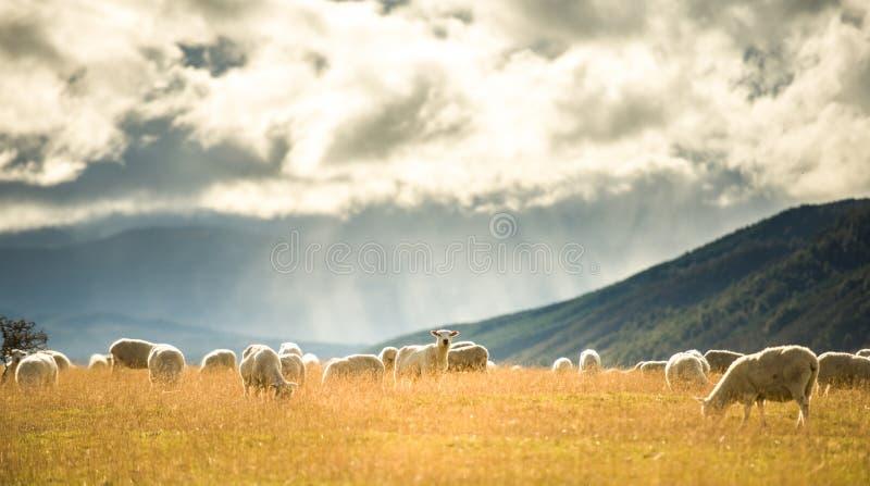 Schafe in der Südinsel, Neuseeland lizenzfreie stockfotos