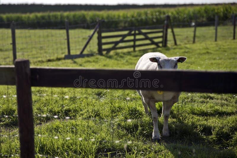 Schafe in der Wiese in Schalkwijk lizenzfreie stockbilder