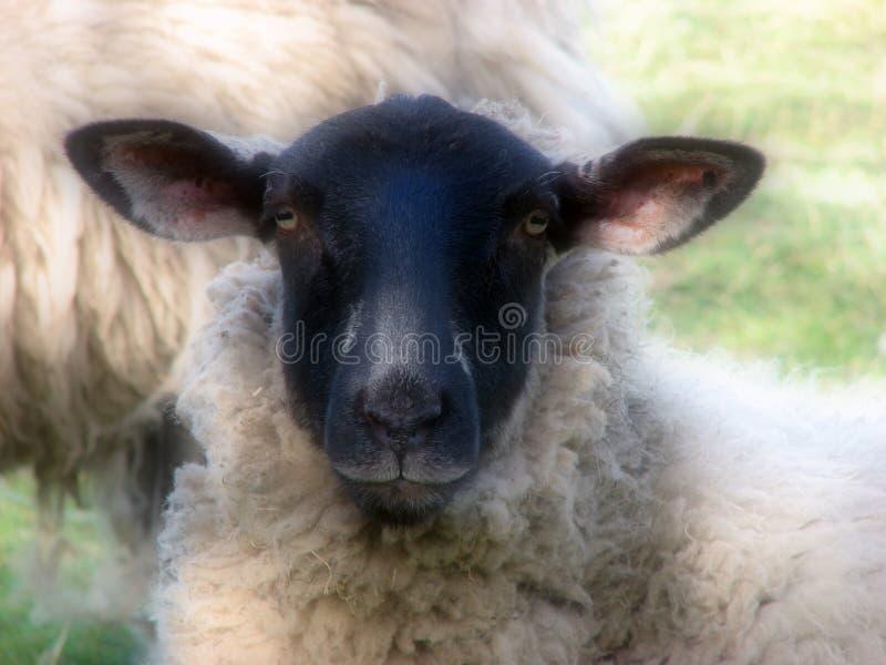 Schafe des schwarzen Gesichtes stockfotos