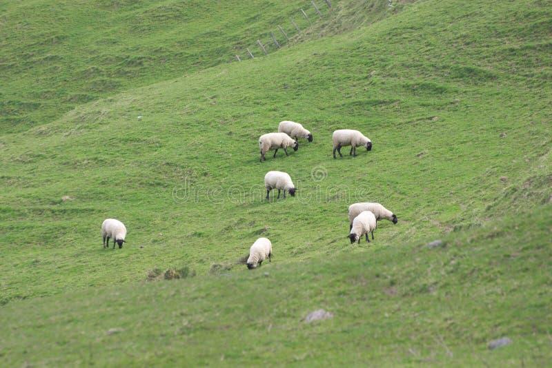 Schafe des schwarzen Gesichtes stockfotografie