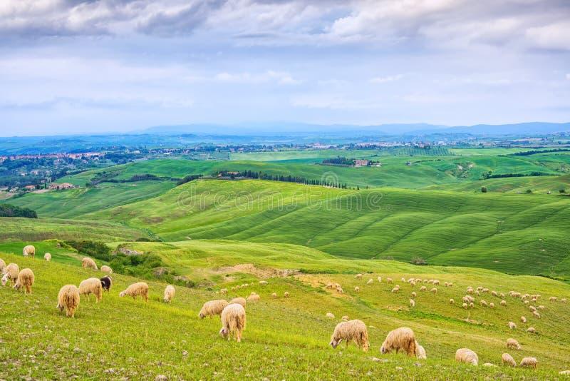 Schafe, die auf den grünen Gebieten in Orcia-Tal, Siena, Toskana, Italien weiden lassen stockfoto