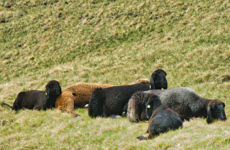 Schafe, die auf einer Alpenwiese weiden lassen stockfotos