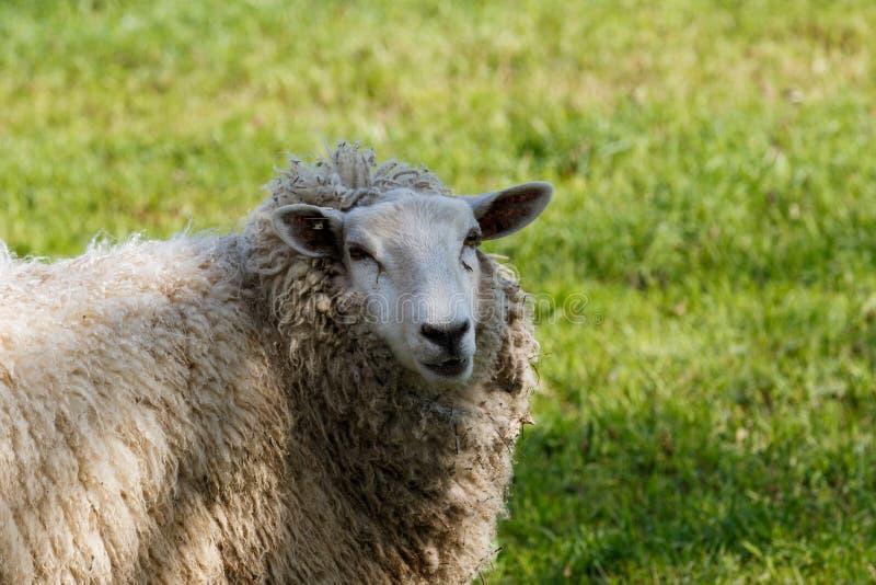 Schafe, die auf einer grünen Weide stehen lizenzfreie stockfotos